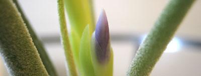 エアプランツ花